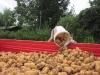raccolta_patate_7